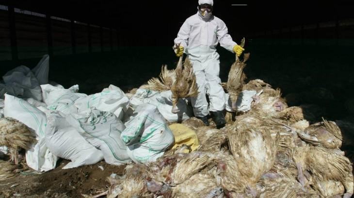 اليابان.. إعدام حوالي 250 ألف دجاجة بسبب تفشي إنفلونزا الطيور